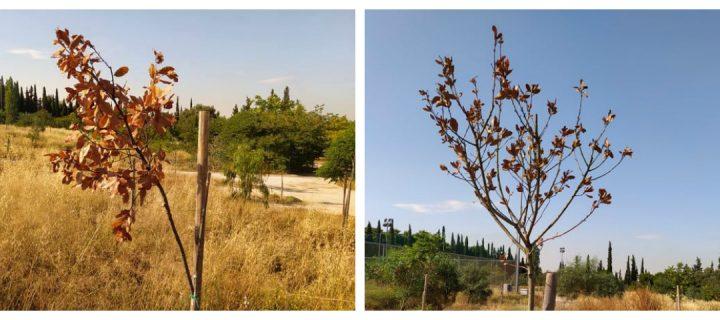 Άφησαν να ξεραθούν δεκάδες δέντρα στο Πάρκο Τρίτση – Μεγάλες οι ευθύνες του Φορέα και του κ. Πατούλη